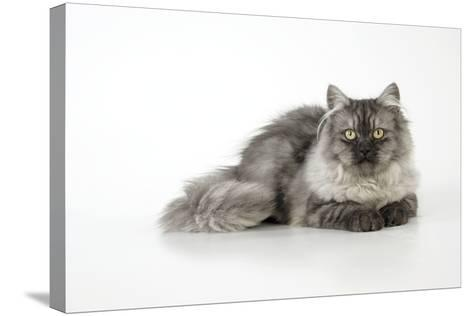 Chincilla X Persian Dark Silver Smoke Cat--Stretched Canvas Print