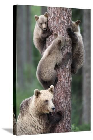 Brown Bear Young Bears Clinging on to Tree--Stretched Canvas Print