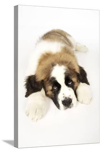St Bernard Dog 14 Week Old Puppy--Stretched Canvas Print