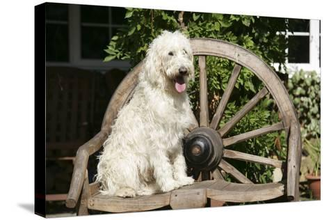 Cream Labradoodle Sitting on Wooden Chair--Stretched Canvas Print