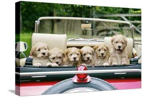 7 Week Old Lhasa Apso Cross Shih Tzu Puppies in Car--Stretched Canvas Print