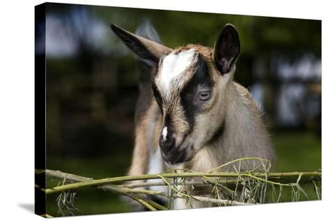 Brown Goat Kid at Fence in Garden--Stretched Canvas Print