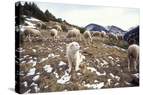 Pyrenean Mountain Dog Protecting Sheep--Stretched Canvas Print
