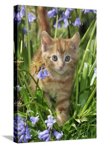 Kitten (Ginger) in Bluebells--Stretched Canvas Print