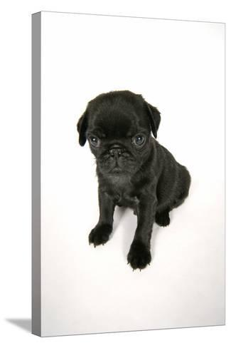 Black Pug Puppy (6 Weeks Old)--Stretched Canvas Print