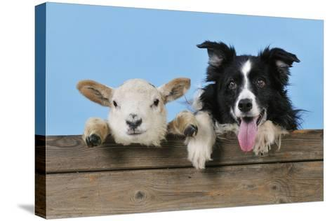 Dog and Lamb, Border Collie and Cross Breed Lamb--Stretched Canvas Print