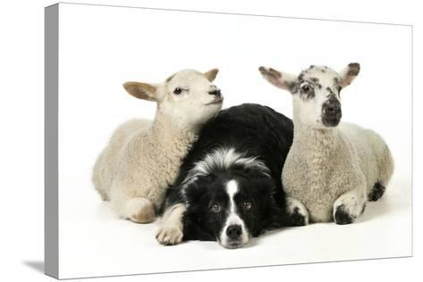 Dog and Lamb, Border Collie Sitting Between Two Cross--Stretched Canvas Print