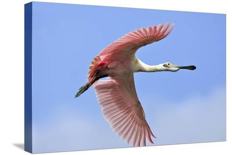 Roseate Spoonbill in Flight--Stretched Canvas Print