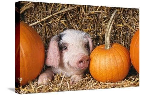 Pig Gloucester Old Spot Piglet with Pumpkins--Stretched Canvas Print