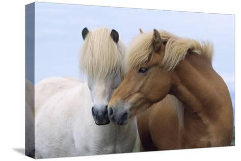 Icelandic Horse Two Smelling Each Other in Communication--Stretched Canvas Print