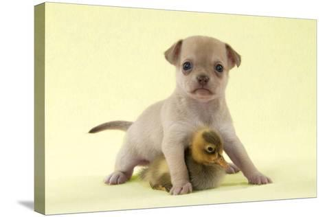 Chihuahua Puppy Standing with Duckling (6 Weeks)--Stretched Canvas Print