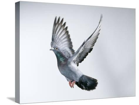 Homing Pigeon in Flight--Stretched Canvas Print