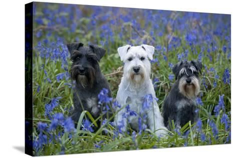 Miniature Schnauzers in Bluebells--Stretched Canvas Print