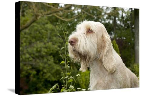 Spinone Sitting in Garden (Head Shot)--Stretched Canvas Print