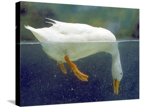 Aylesbury Duck Domestic, Above and Below Water--Stretched Canvas Print