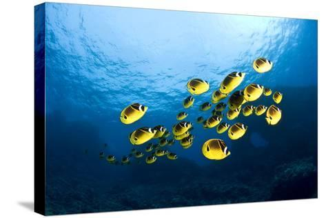 Racoon Butterflyfish--Stretched Canvas Print