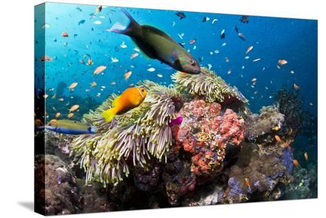 Lyretail Wrasse with Tomato Anemonefish--Stretched Canvas Print