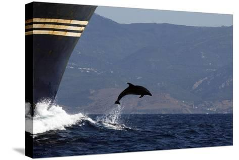 Bottlenose Dolphin Playing--Stretched Canvas Print