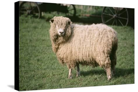 Lincoln Longwool Sheep--Stretched Canvas Print
