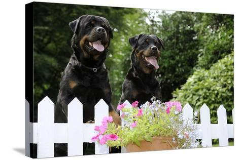 Rottweilers Looking over Fence--Stretched Canvas Print