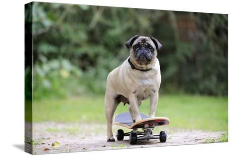 Pug on Skateboard--Stretched Canvas Print