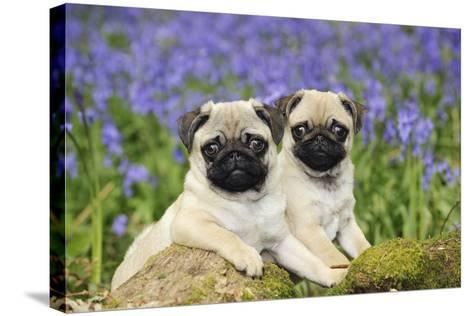 Pug Puppies Standing Together in Bluebells--Stretched Canvas Print