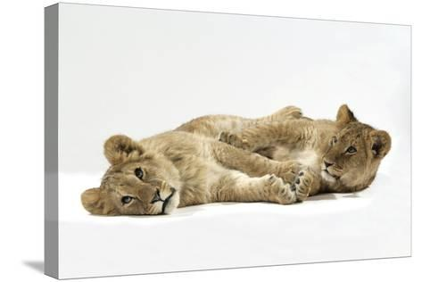 Two Lion Cubs (Approx 16 Weeks Old) Lying Together--Stretched Canvas Print