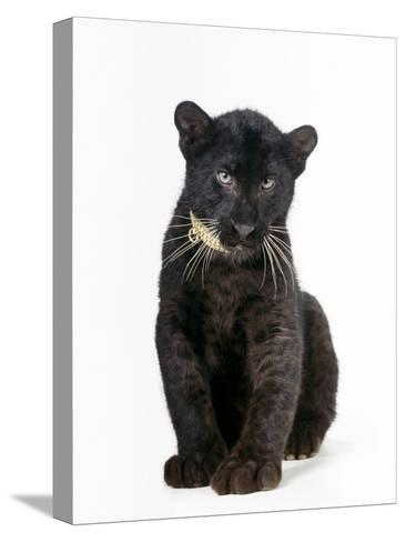 Black Panther Cub, 16 Weeks Old--Stretched Canvas Print