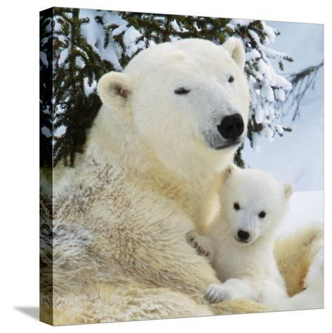 Polar Bear with Cub--Stretched Canvas Print