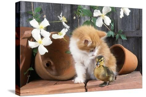 Kitten with Duckling--Stretched Canvas Print