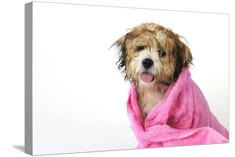 Teddy Bear Dog (Wet) Wrapped in a Towel--Stretched Canvas Print