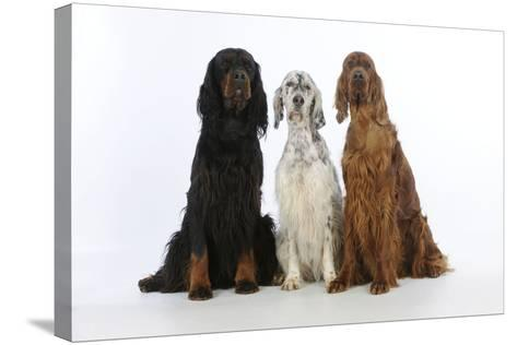 English Setter Sitting Between Gordon Setter--Stretched Canvas Print