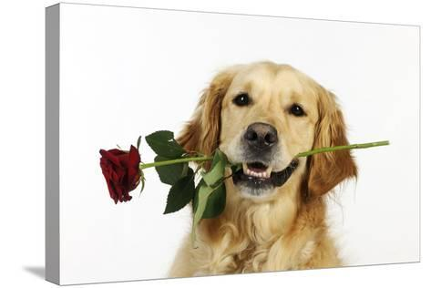 Golden Retriever Holding Rose (Head Shot)--Stretched Canvas Print