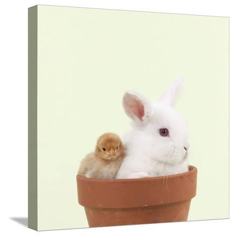 Rabbit and Chick Mini Ivory Satin Rabbit Sitting--Stretched Canvas Print