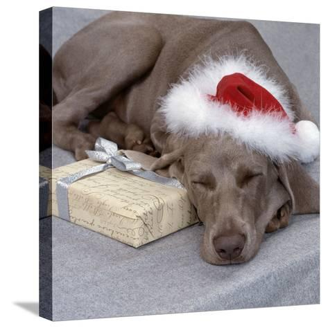 Weimaraner Asleep Wearing Christmas Hat--Stretched Canvas Print