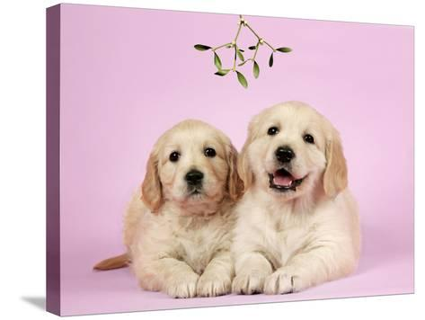Golden Retriever Puppies (6 Weeks) Lying Down--Stretched Canvas Print