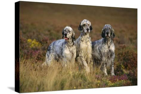English Setter Dogs Three in Row--Stretched Canvas Print