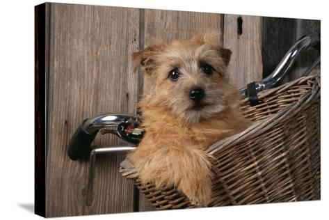 Border Terrier in Bicycle Basket--Stretched Canvas Print