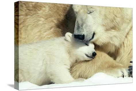 Polar Bear and Cub--Stretched Canvas Print