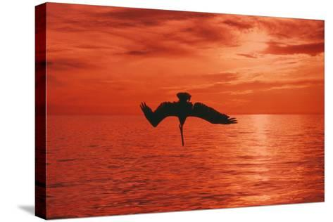 Brown Pelican Diving for Fish, Sunset--Stretched Canvas Print