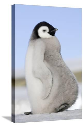 Emperor Penguin Chick--Stretched Canvas Print