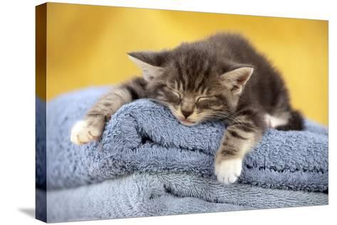 Kitten Sleeping on Towels--Stretched Canvas Print