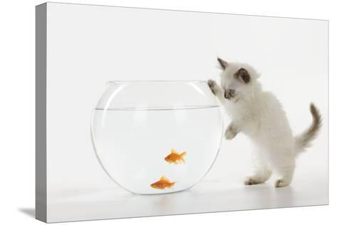 Kitten Watching Fish in Fish Bowl--Stretched Canvas Print
