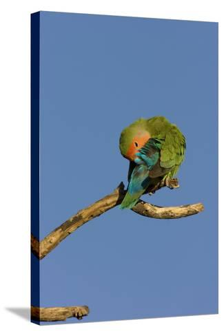 Rosy Faced Lovebird Preening--Stretched Canvas Print