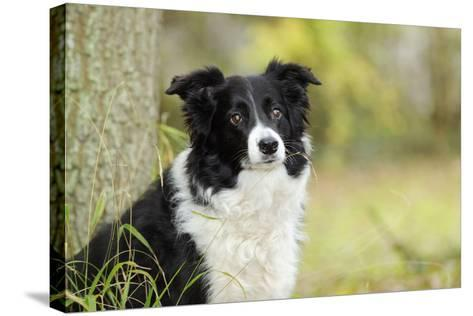 Border Collie in Front of Tree--Stretched Canvas Print