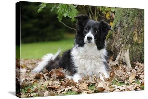 Border Collie in Leaves--Stretched Canvas Print