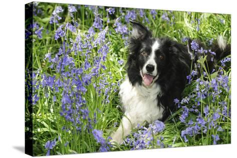 Border Collie Lying in Bluebells--Stretched Canvas Print