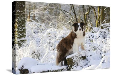 Border Collie Standing on Snow Covered Tree Stump--Stretched Canvas Print