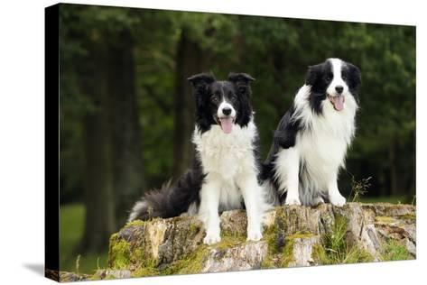 Border Collies Sitting on Tree Stump--Stretched Canvas Print