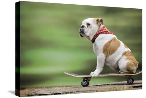 Bulldog on Skateboard--Stretched Canvas Print